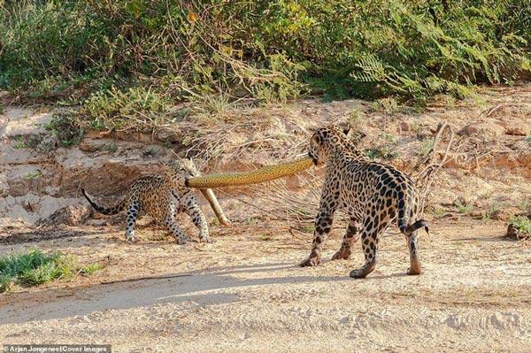 Cả báo mẹ và con của nó đều từ chối nhả xác trăn anaconda