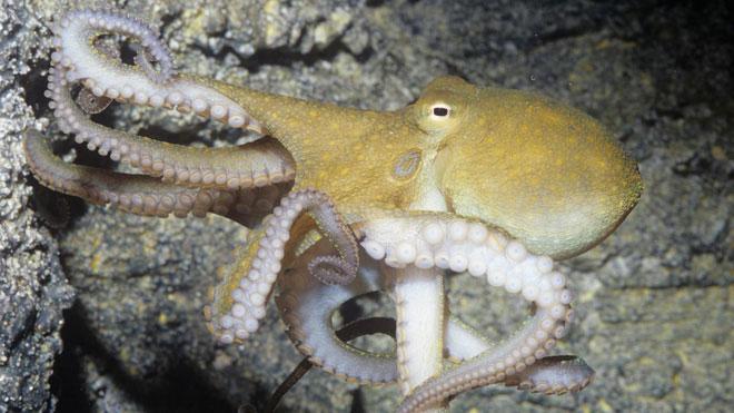 Là động vật có nhận thức cao nên bạch tuộc mới có khả năng chơi đùa.