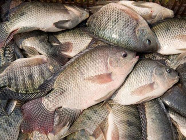 Nếu cùng một loại cá mà các con cá đều nhau thì phần lớn là cá nuôi.