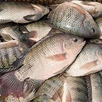 Ăn nhiều cá rô phi thì cái chết đến nhanh hơn?
