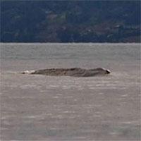 Vật thể giống quái vật Loch Ness lướt trên mặt hồ Canada