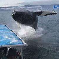 Cá voi bay trên mặt nước, suýt rơi trúng thuyền chở khách