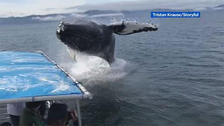 Cá voi nhảy lên mặt nước