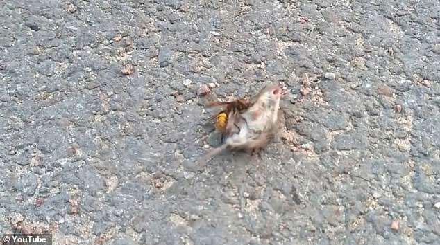Không rõ vì sao ong bắp cày lại nhắm vào động vật có vú như chuột.