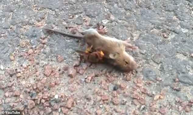 Con chuột quằn quại vì bị ong bắp cày tấn công.