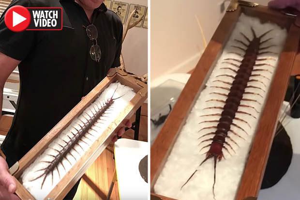 Con rết dài khoảng 38cm, được cho là lớn nhất thế giới.
