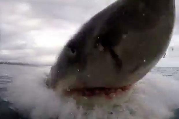 Cá mập trắng tung người lên khỏi mắt nước.