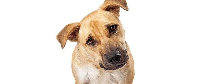 Nghiêng đầu có nhiều liên quan đến khả năng đồng cảm của một con chó.