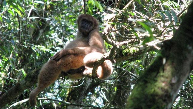 Một con khỉ nhện lông mượt được chụp ở rừng Atlantic vào năm 2011.
