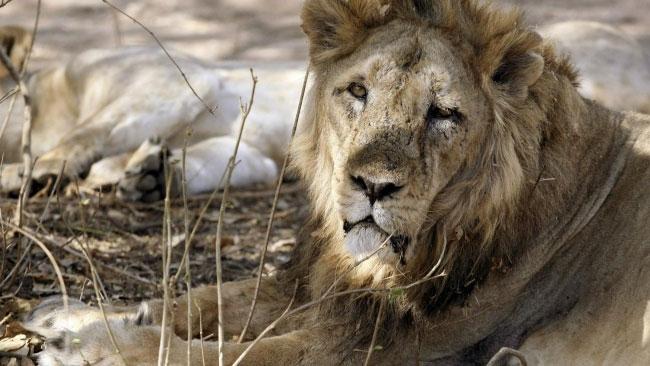 Một chú sư tử châu Á