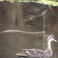 Đàn vịt đuổi rắn hổ độc xâm phạm lãnh thổ
