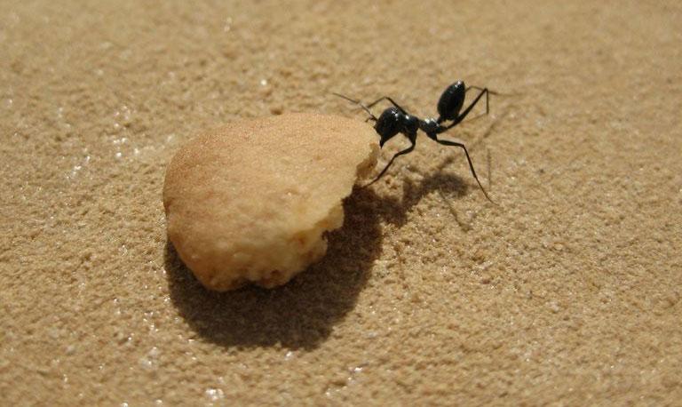 Gặp thức ăn là kiến sẽ quên hết.