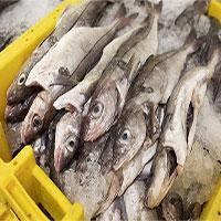 Mối nguy hiểm đến từ việc cá bị câu rồi được thả ra