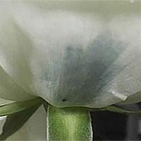 Các nhà khoa học Trung Quốc phát triển kỹ thuật tạo hoa hồng xanh mới