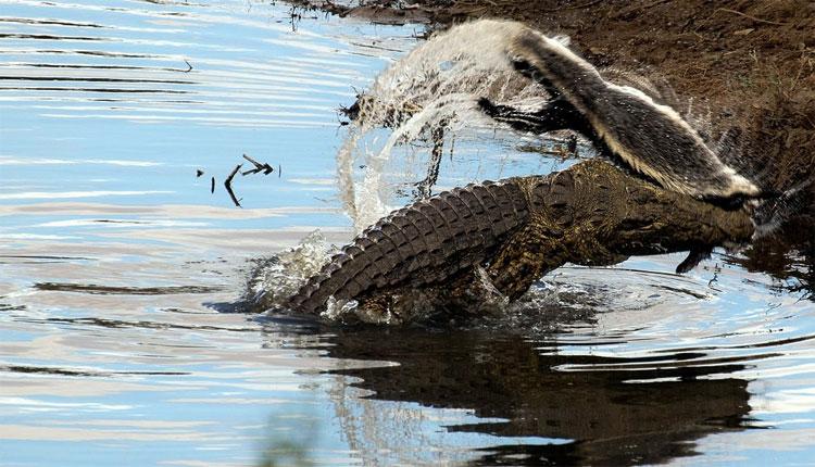 Con cá sấu tìm cách quăng quật xác lửng mật trên mặt nước.