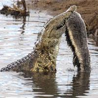 Cá sấu chật vật tìm cách ăn xác lửng mật
