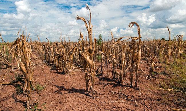 Khan hiếm các loại lương thực xảy ra nghiêm trọng, chắc chắn sẽ đe dọa đến an ninh lương thực của toàn cầu.