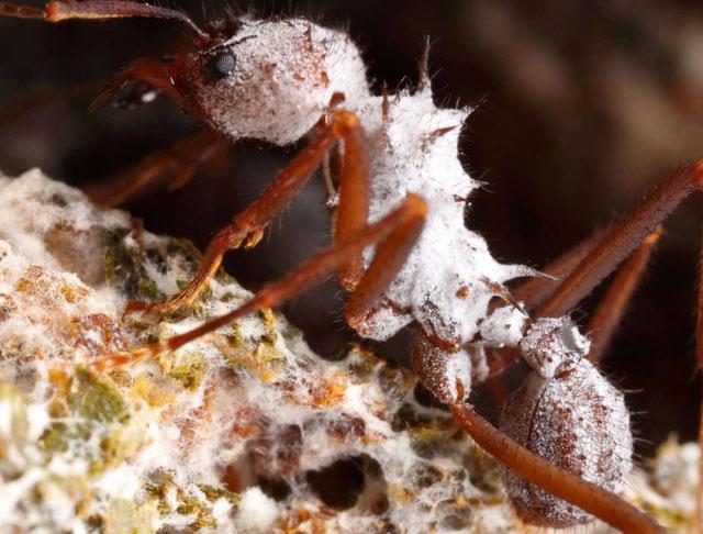 """Kiến đã biết """"canh tác, trồng trọt"""" và sử dụng kháng sinh trị bệnh cho nấm chúng trồng từ hàng chục triệu năm trước."""