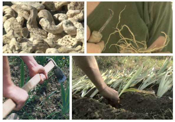 Hầu hết các quy trình, từ trồng trọt đến phơi phóng củ hoa Iris đều là lao động chân tay.