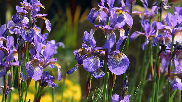 Hoa Iris.