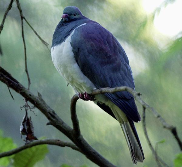 Loài chim này là một con mồi dễ dàng của các loài thú ăn thịt bản địa.