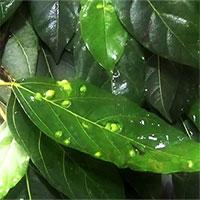 Bạn có biết các nốt sần trên lá sung thực chất là gì không?