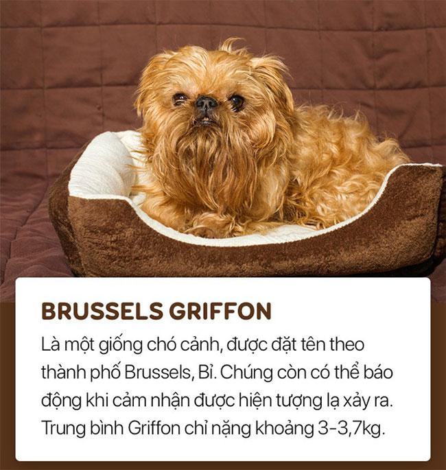 Chó brussels griffon