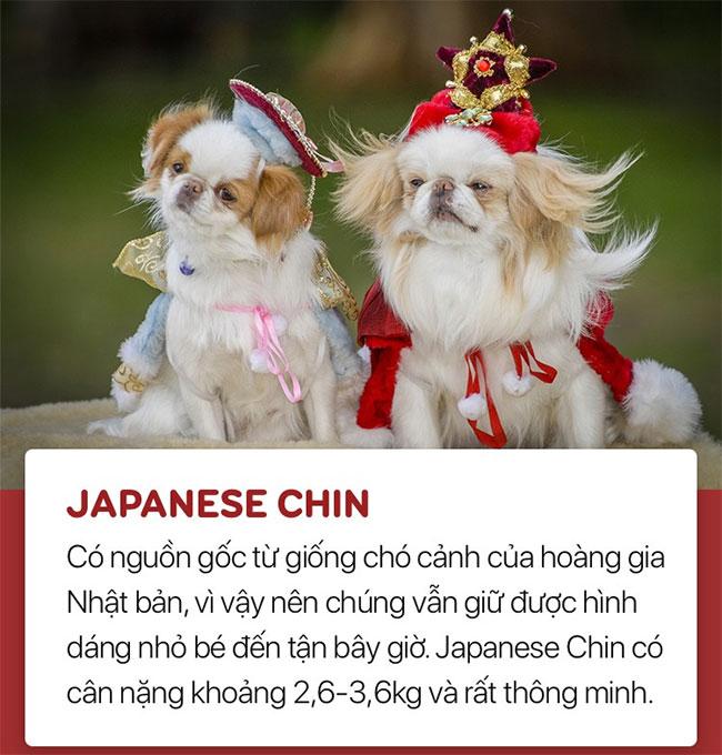 Chó Japanese Chin