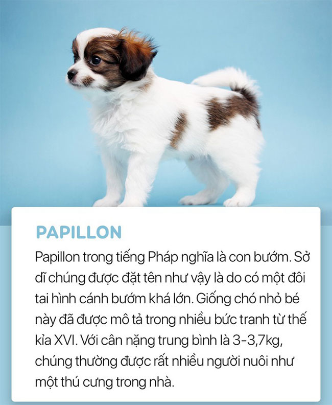 Chó Papillon
