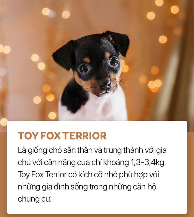 Chó toy fox terrior