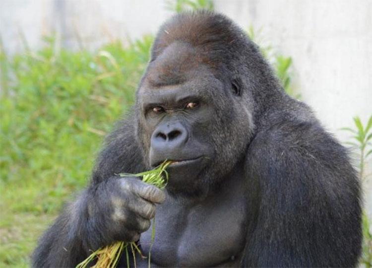 Một chú khỉ đột đực.