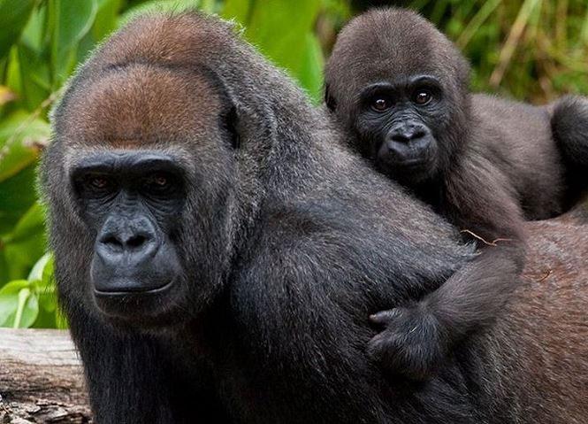 Một chú khỉ đột cái và khỉ đột con.