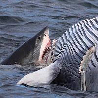 Cá mập trắng 6 mét xé xác cá voi trước mũi tàu