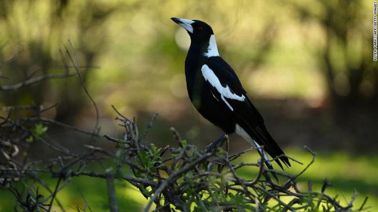 Chim ác là xuất hiện ở Sydney.