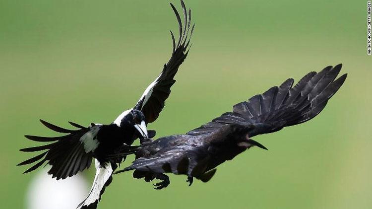 Chim ác là tấn công một con quạ hồi năm 2017.
