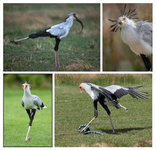 Chim thư ký phải trang bị cú đạp nhanh và mạnh khủng khiếp như thế là vì con mồi của nó.