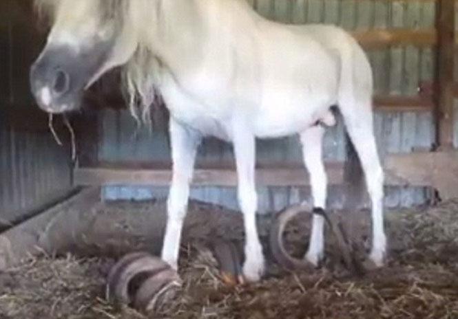 Con ngựa gặp khó khăn trong việc di chuyển.