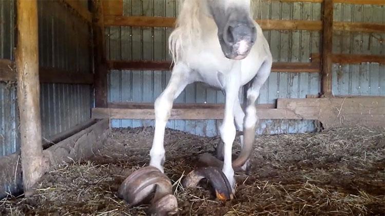 Bộ móng 15 năm không cắt của con ngựa.
