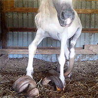 Bộ móng dài gần 1m của hai con ngựa suốt 15 năm quên cắt móng