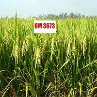 Nhà khoa học Việt tạo giống lúa chống stress