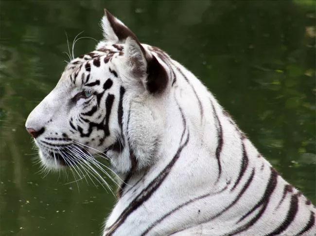 Hổ trắng.