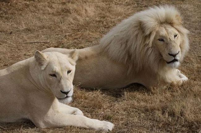 Sư tử trắng.