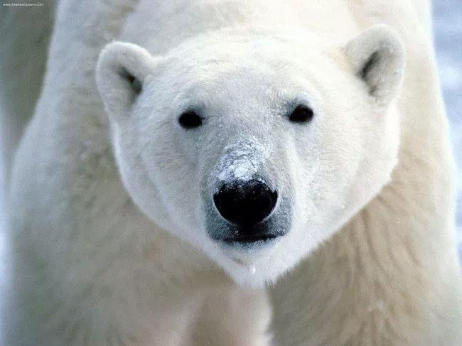 Gấu Bắc Cực.