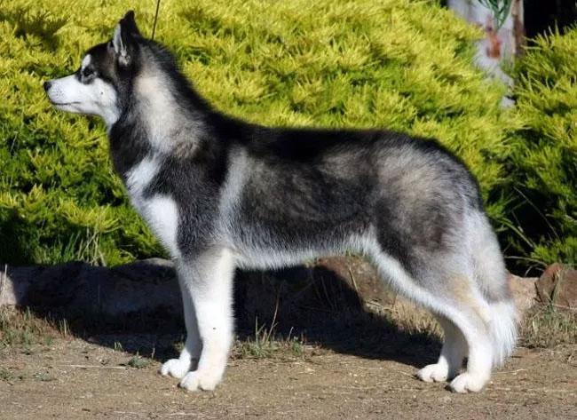 Chó Husky Siberia.