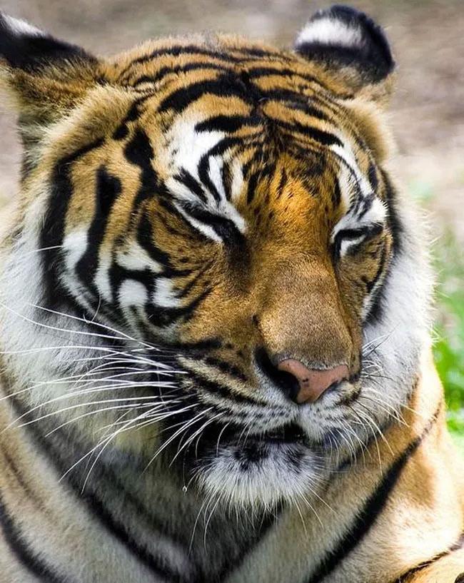 Hổ Siberia.
