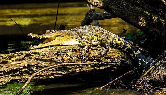 Đây được cho là hình ảnh loài cá sấu mới có tên khoa học Mecistops leptorhynchus.