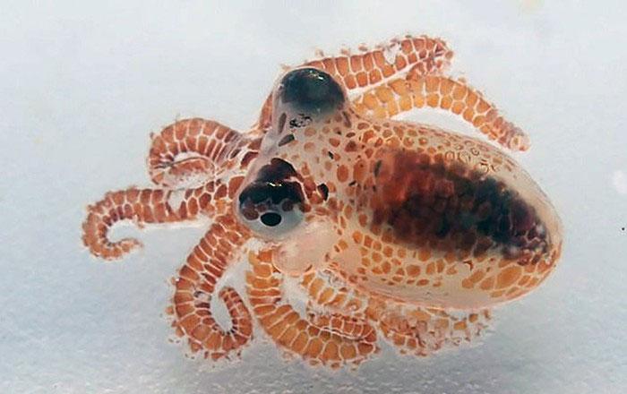 Hai con bạch tuộc này có kích thước rất nhỏ.