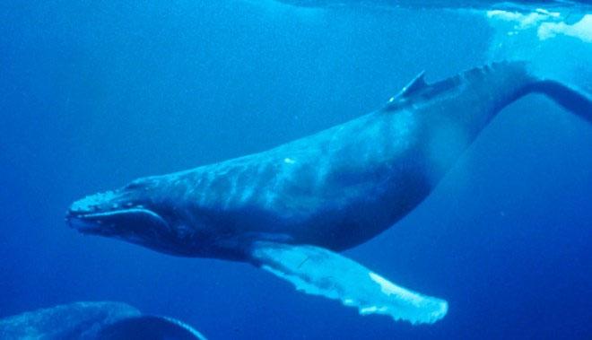Cá voi lưng gù đực dùng tiếng kêu để giao tiếp và và thu hút bạn tình.