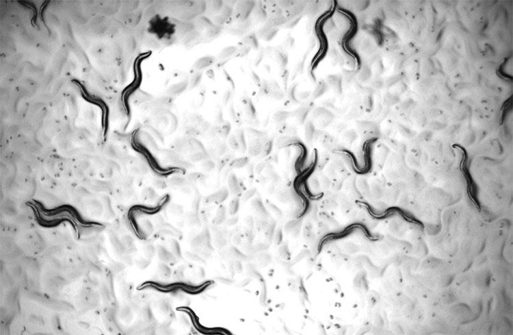 Giun Caenorhabditis elegans được sử dụng trong thử nghiệm thuốc.
