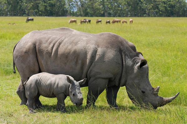 Tê giác đứng trước nguy cơ tuyệt chủng do bị săn bắn trái phép